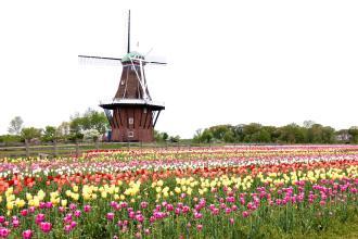 istock_holland_windmill_tulips_large