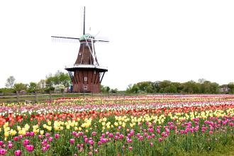 istock_holland_windmill_tulips_large
